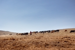 Maasai Tending Their Cattle, Ngorongoro, Tanzania